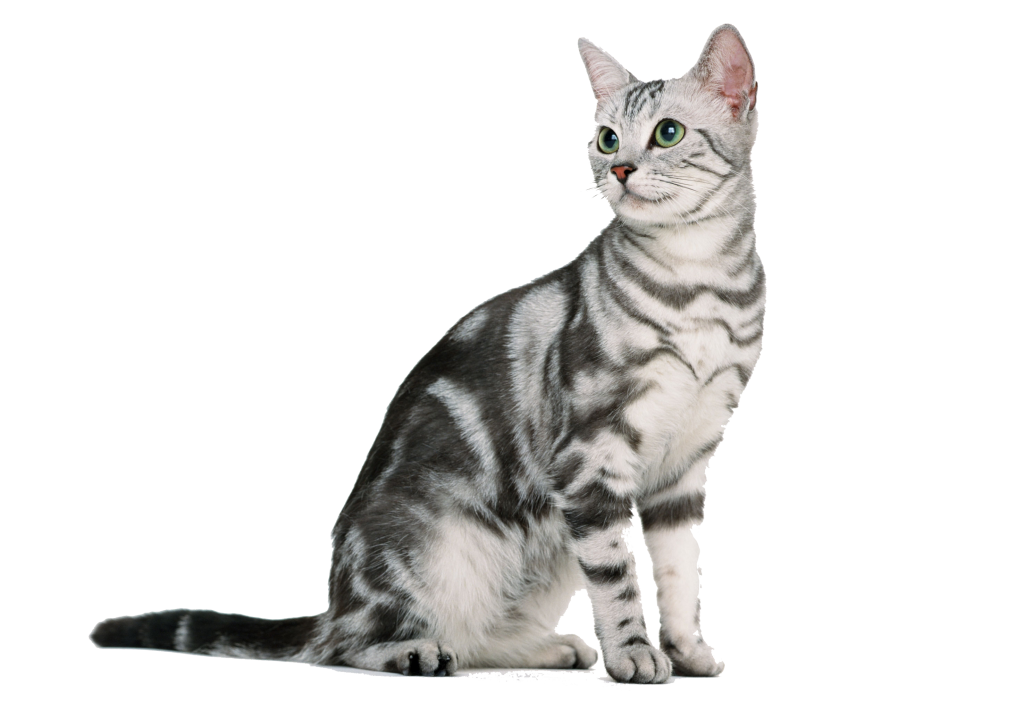 animalerie american wirehair animalerie chat 11