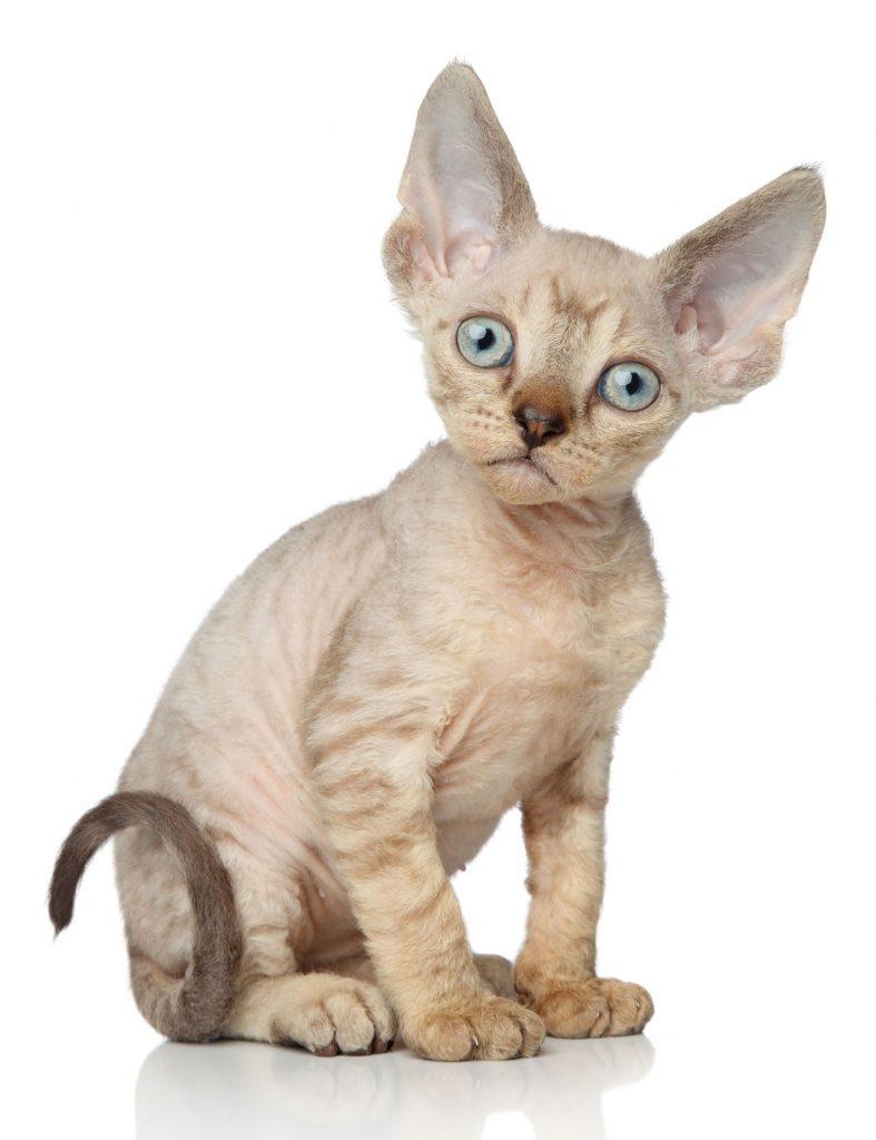 animalerie Devon rex animalerie chat02