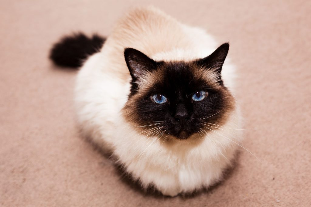 animalerie Hymalayen animalerie chat03