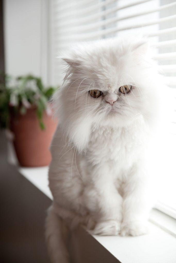 animalerie Hymalayen animalerie chat04.