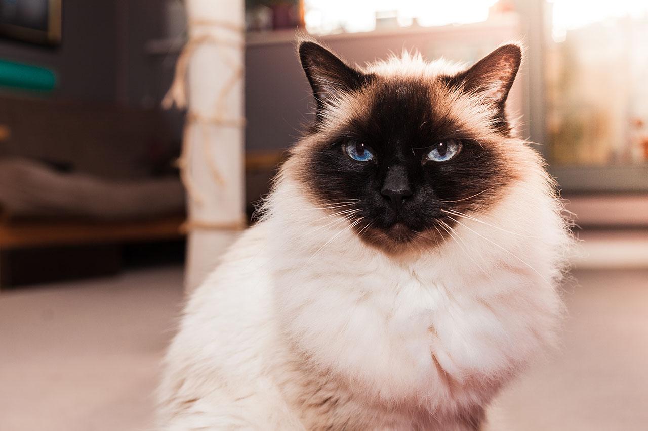 animalerie Hymalayen animalerie chat05