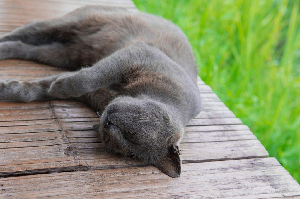 animalerie Korat animalerie chat00