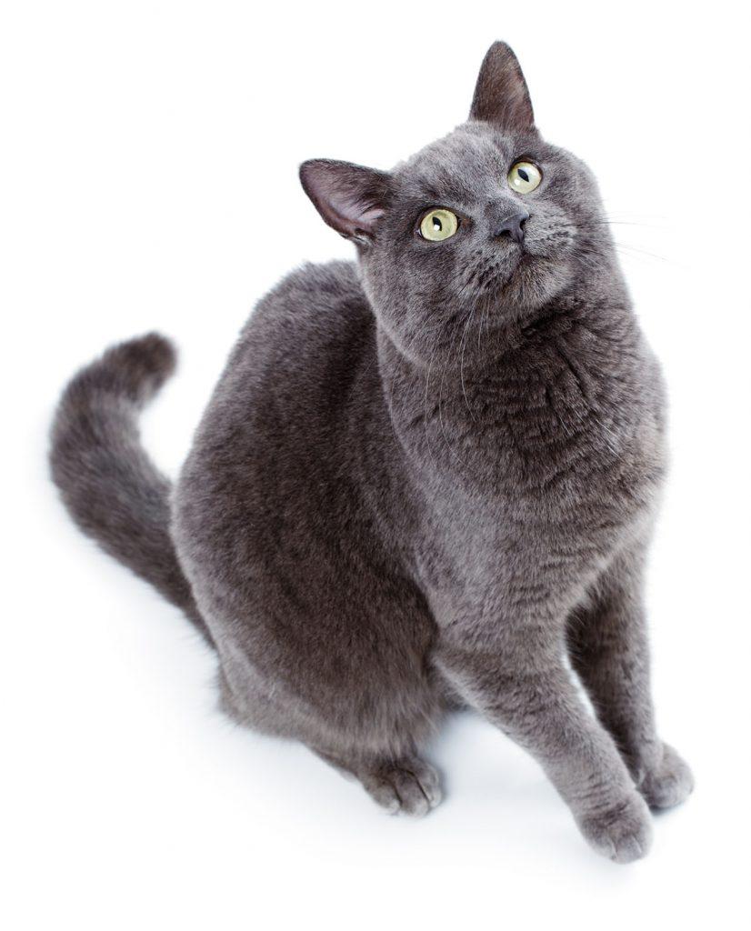 animalerie Korat animalerie chat06