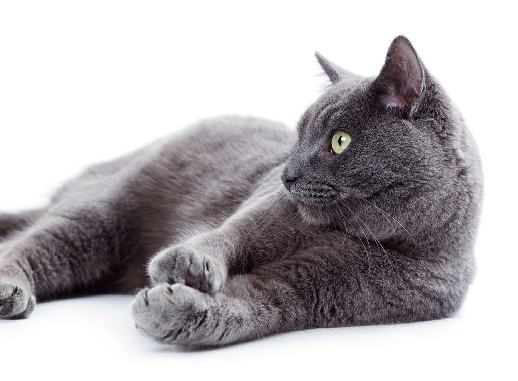 animalerie Korat animalerie chat08