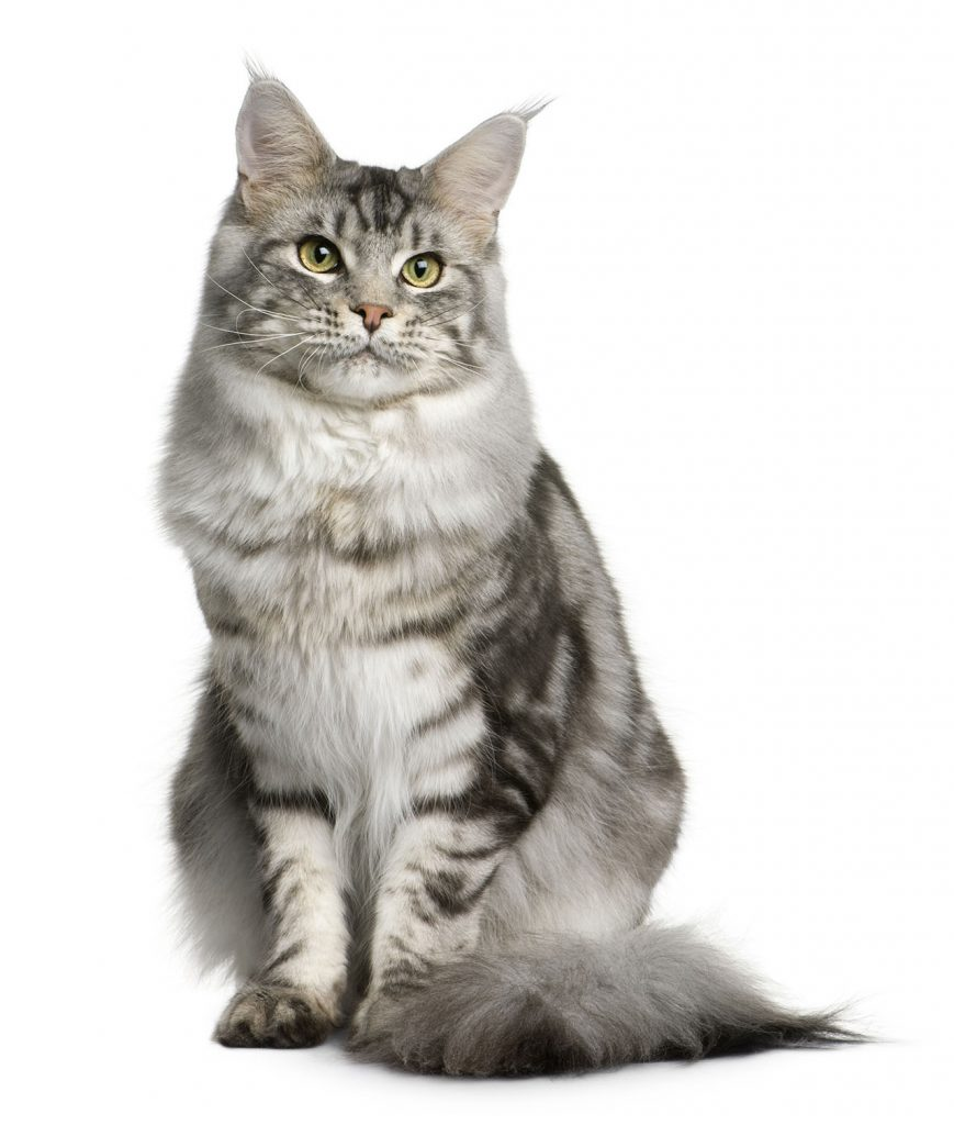 animalerie Mainecoon animalerie chat11