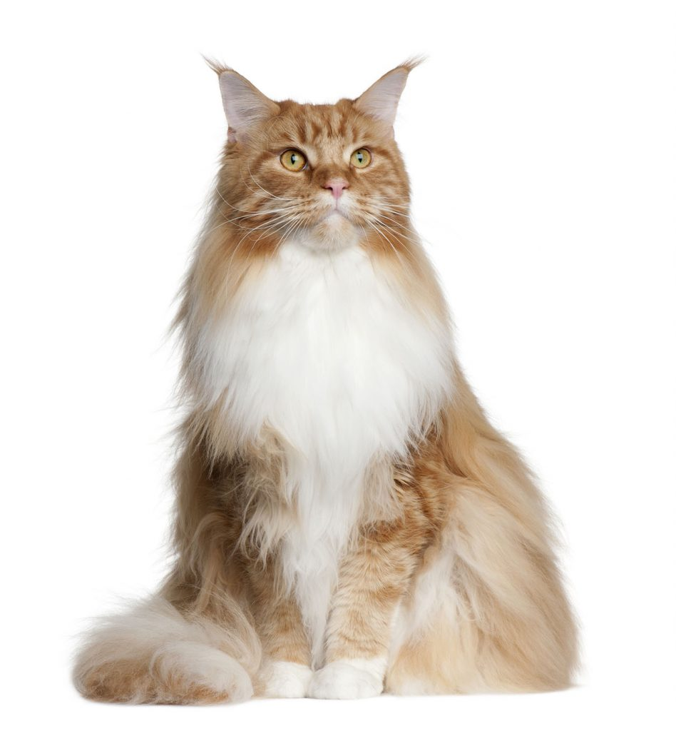 animalerie Mainecoon animalerie chat13