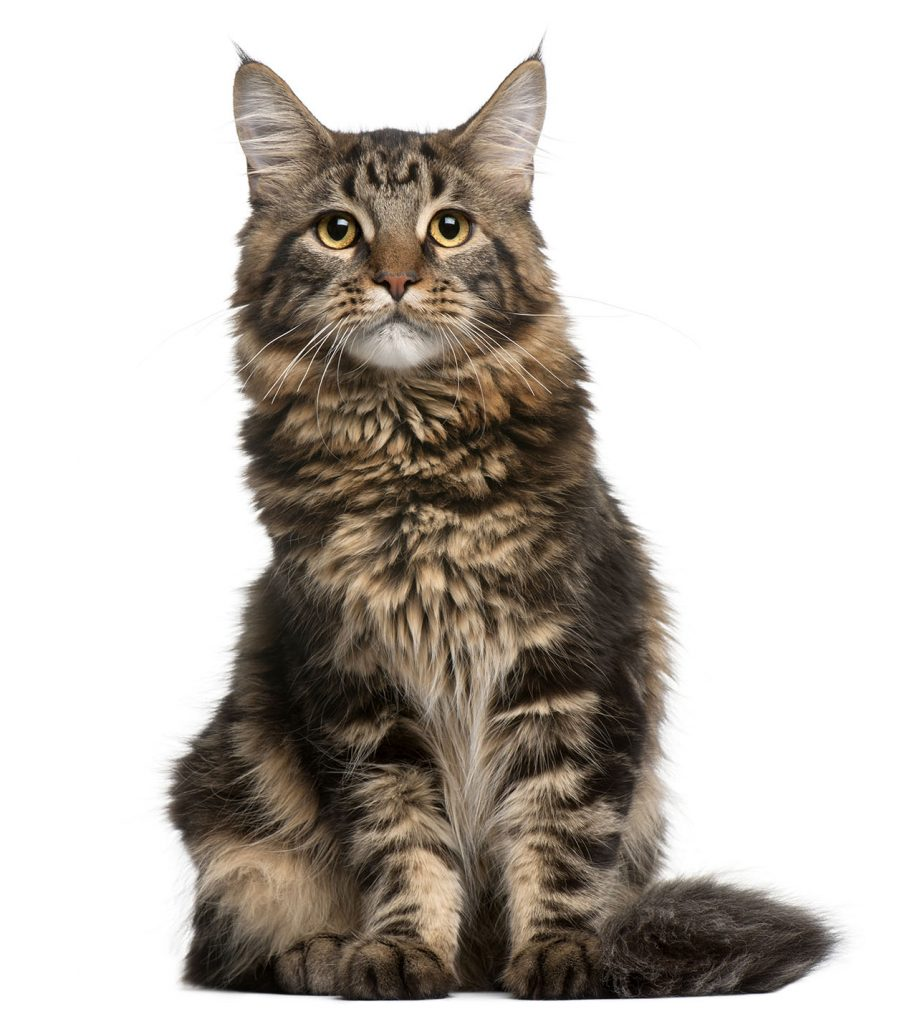 animalerie Mainecoon animalerie chat14