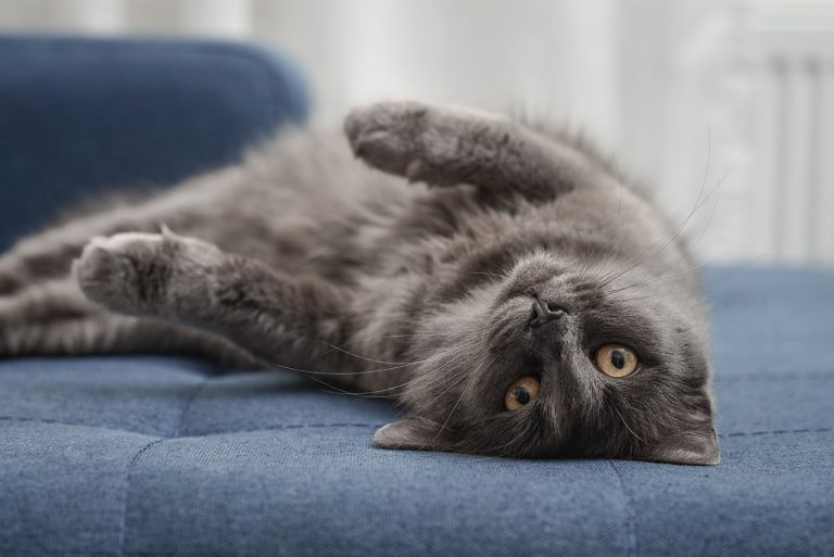 animalerie Nebelung animalerie chat04
