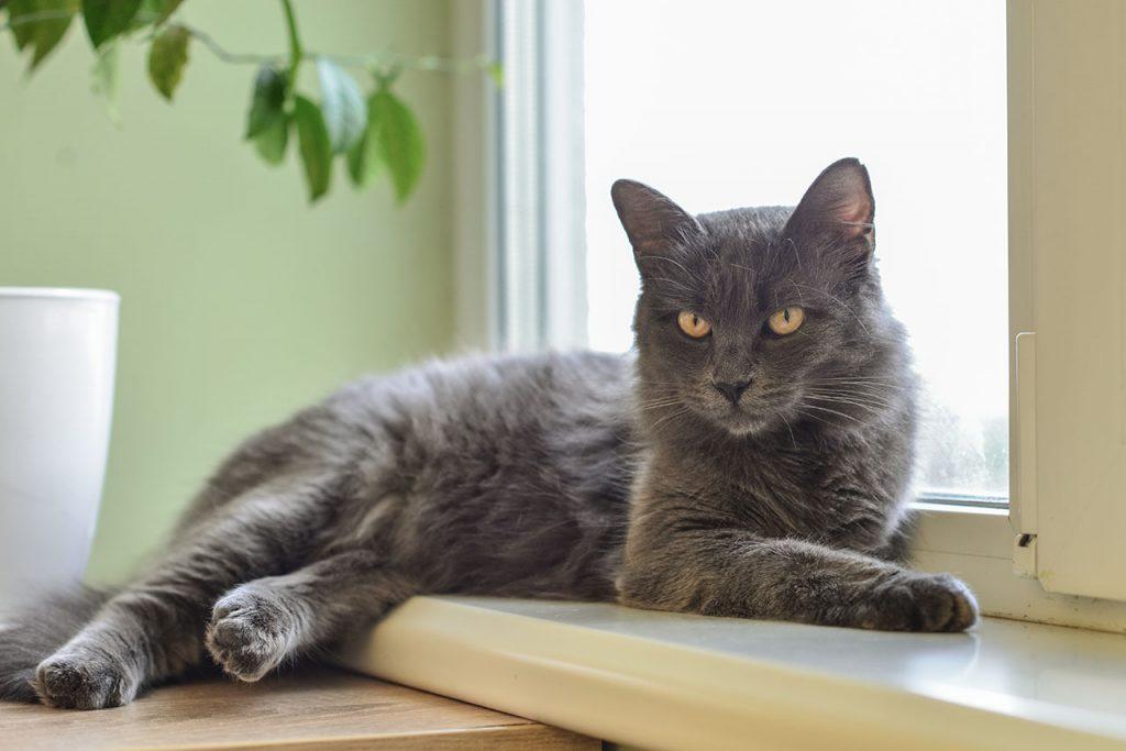 animalerie Nebelung animalerie chat05