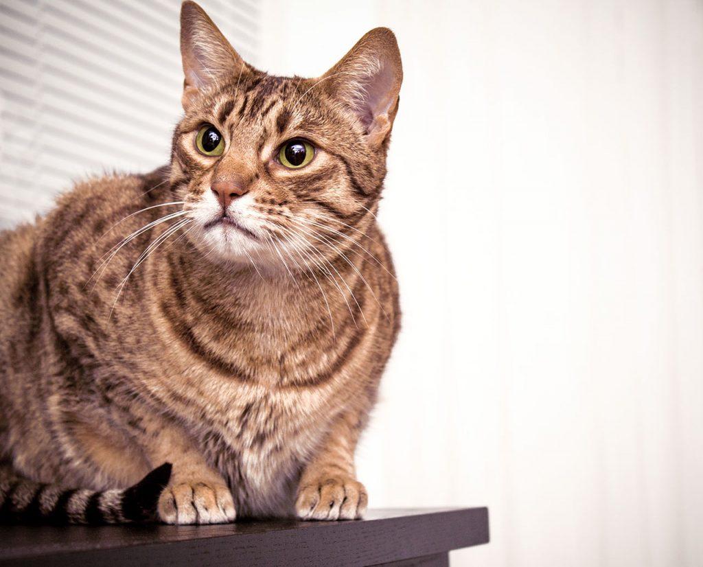 animalerie Ocicat animalerie chat01