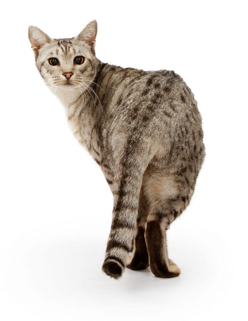 animalerie Ocicat animalerie chat06