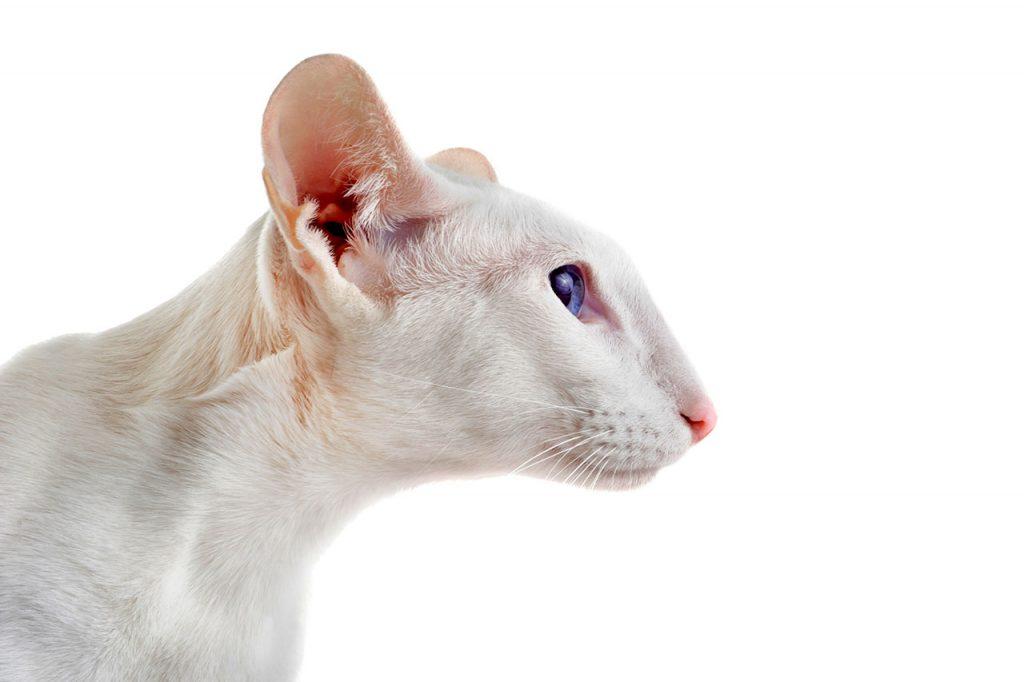 animalerie Oriental Shorthair animalerie chat05