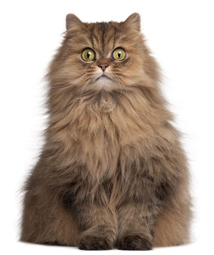animalerie Persan animalerie chat06