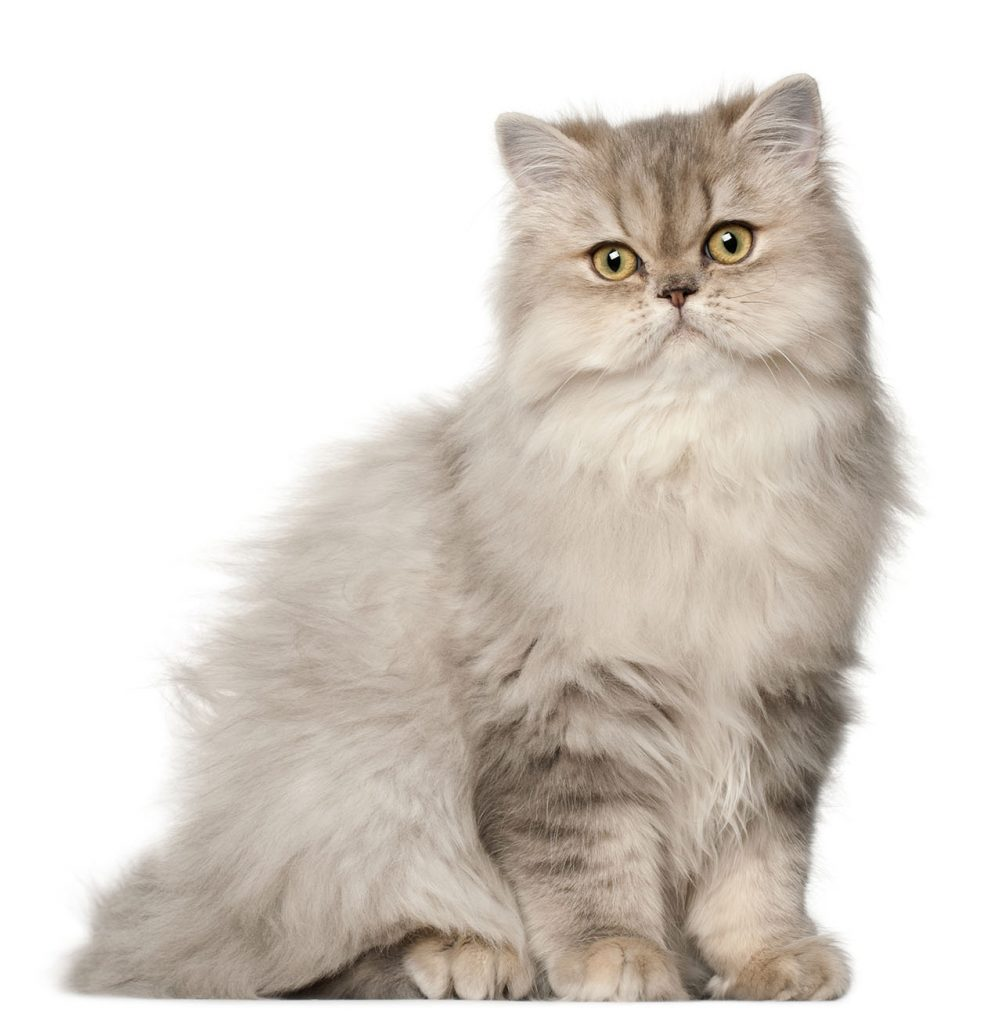 animalerie Persan animalerie chat07