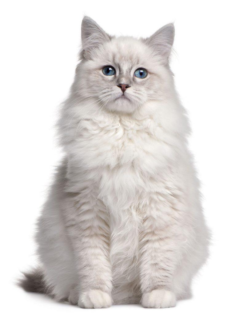animalerie Ragdoll animalerie chat09