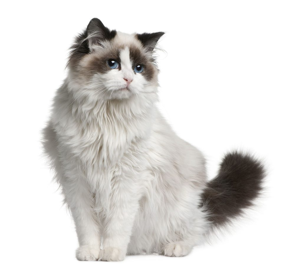 animalerie Ragdoll animalerie chat10