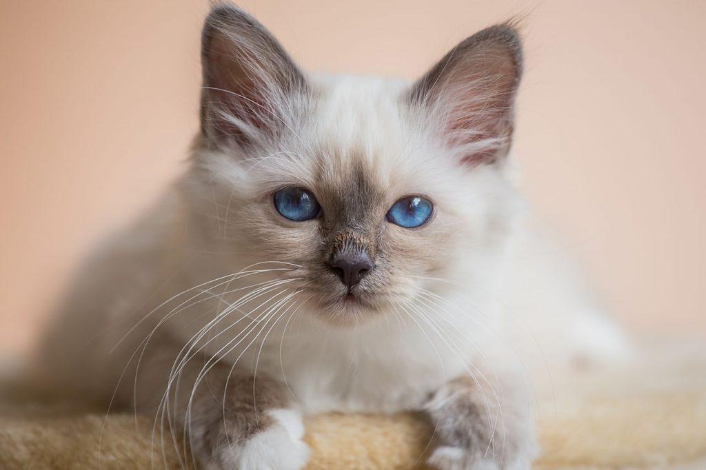 animalerie Sacré de Birmanie animalerie chat00