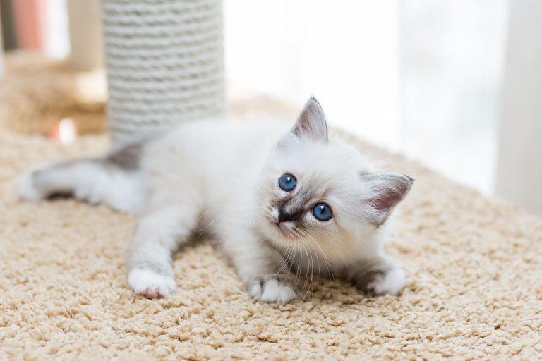 animalerie Sacré de Birmanie animalerie chat03