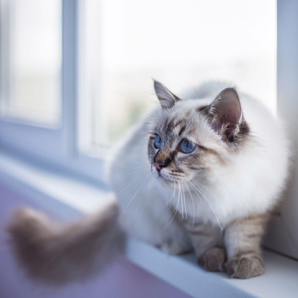 animalerie Sacré de Birmanie animalerie chat08
