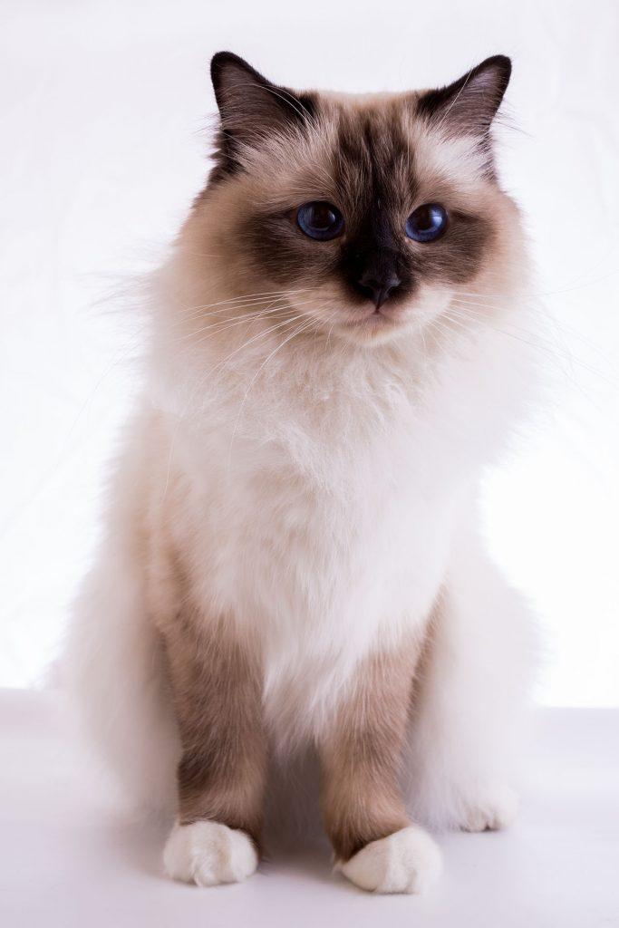 animalerie Sacré de Birmanie animalerie chat13