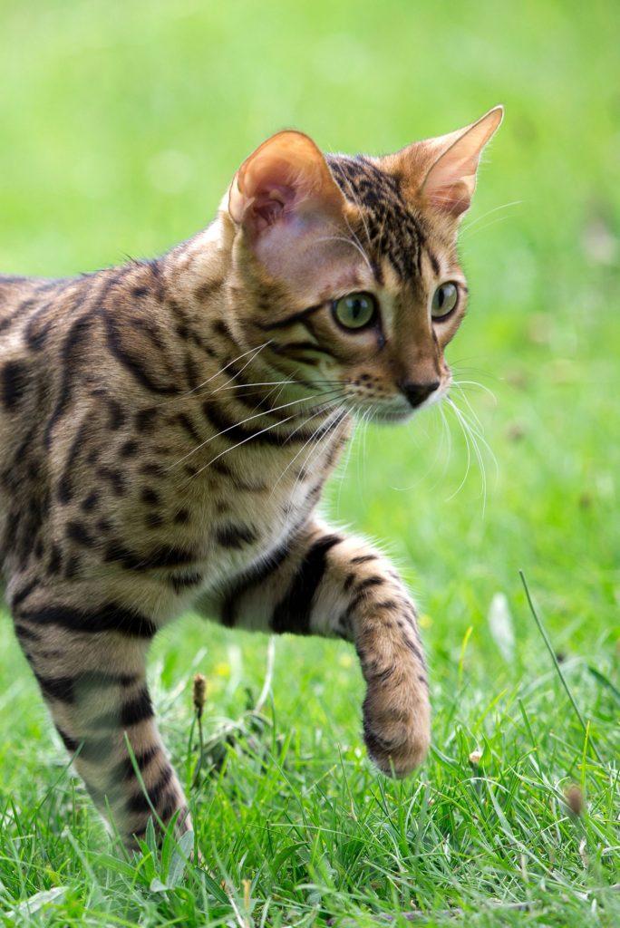 animalerie Savannah animalerie chat00