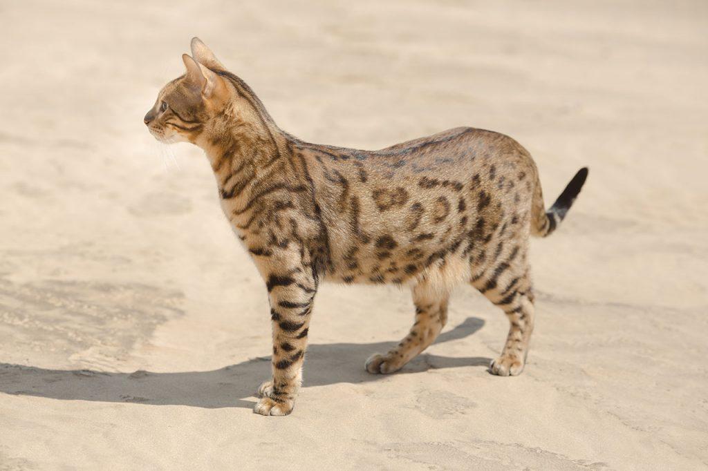 animalerie Savannah animalerie chat04