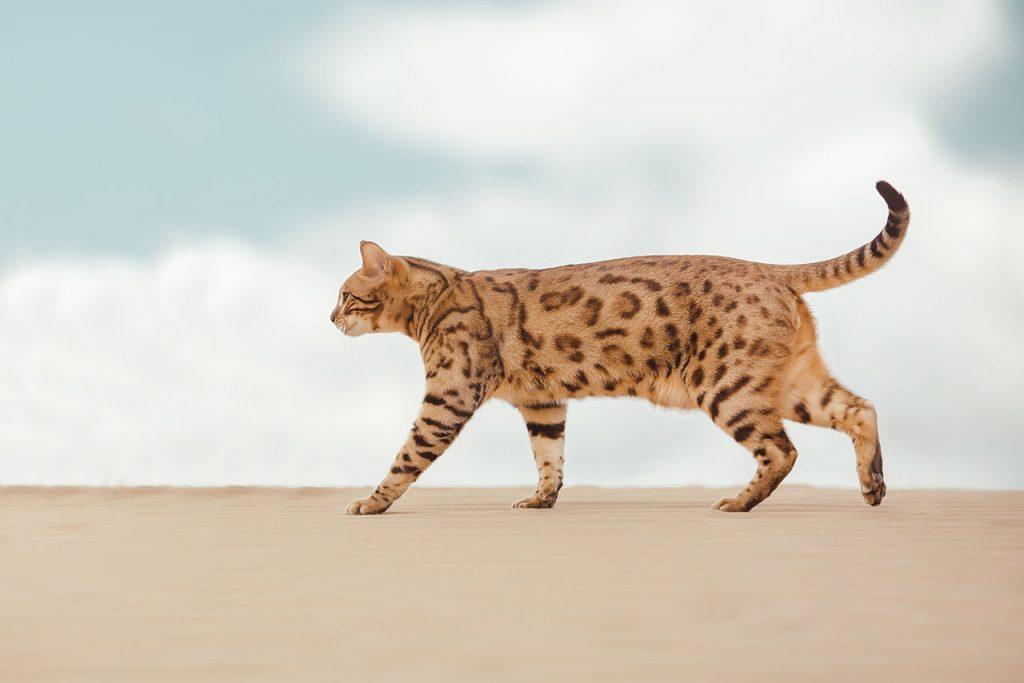 animalerie Savannah animalerie chat05