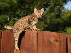 animalerie Savannah animalerie chat09