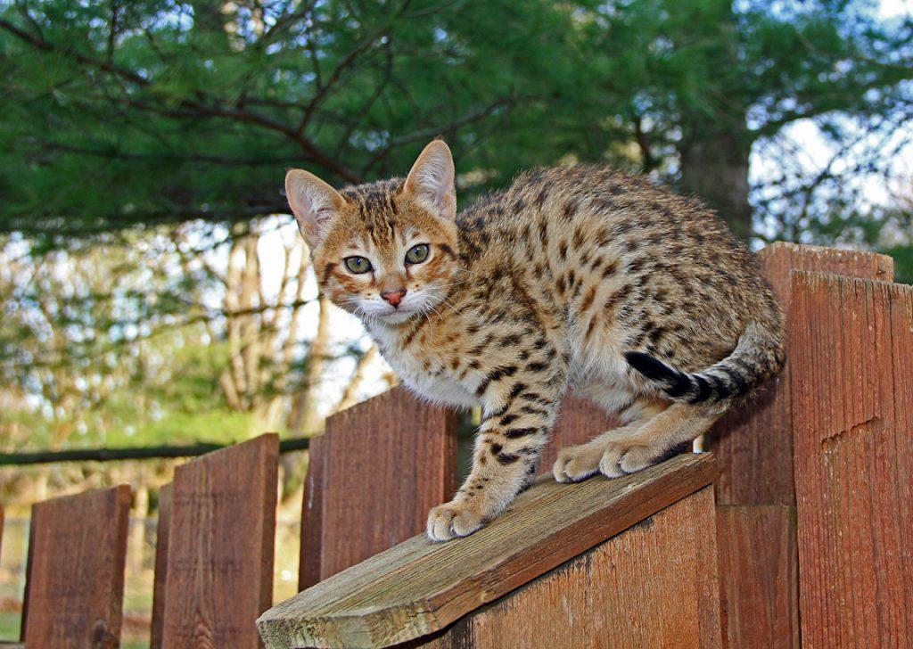 animalerie Savannah animalerie chat11
