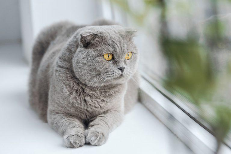 animalerie Scottish Fold animalerie chat00