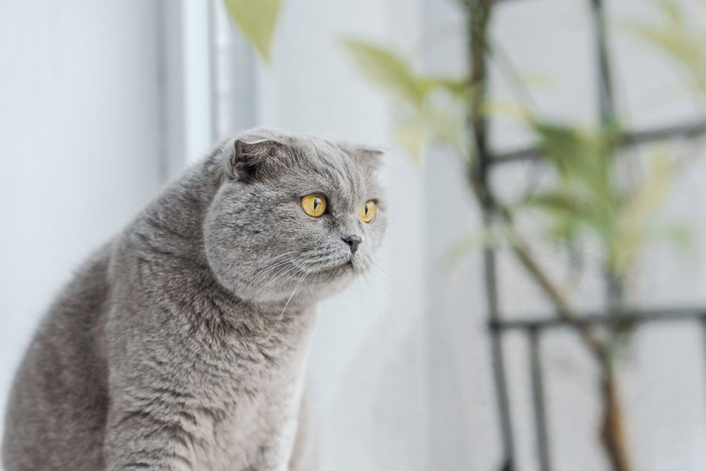 animalerie Scottish Fold animalerie chat01