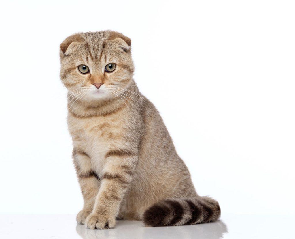 animalerie Scottish Fold animalerie chat05
