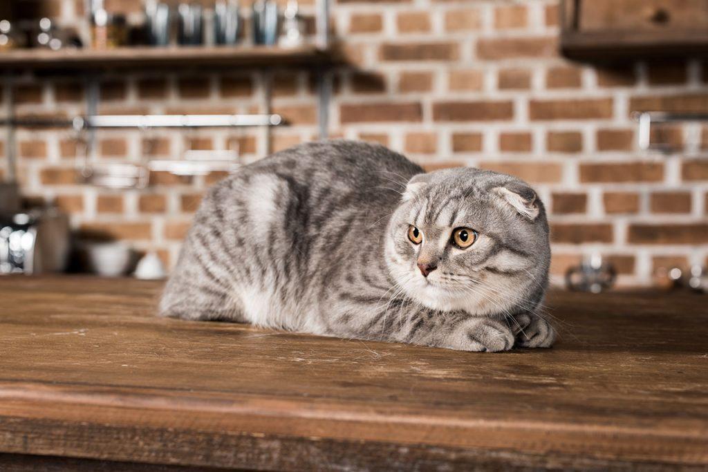 animalerie Scottish Fold animalerie chat06