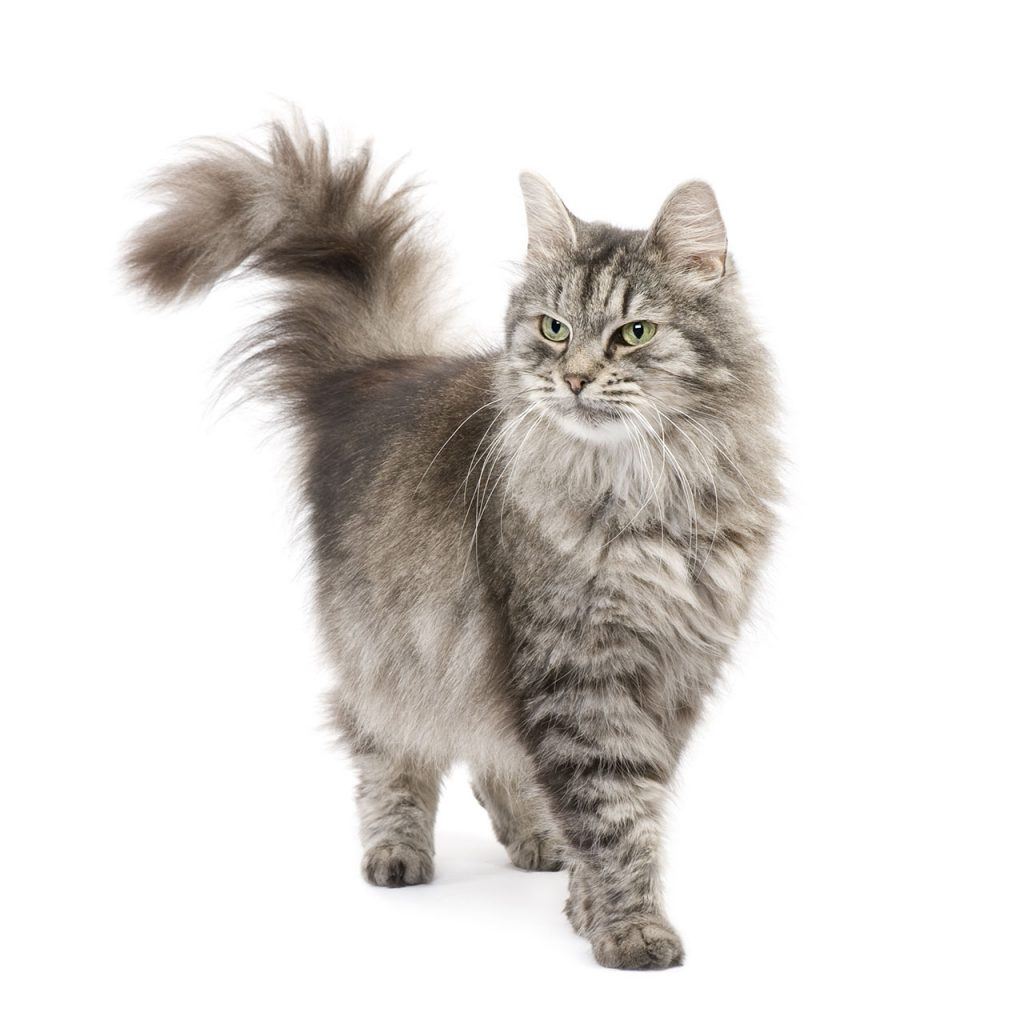 animalerie Siberien animalerie chat03