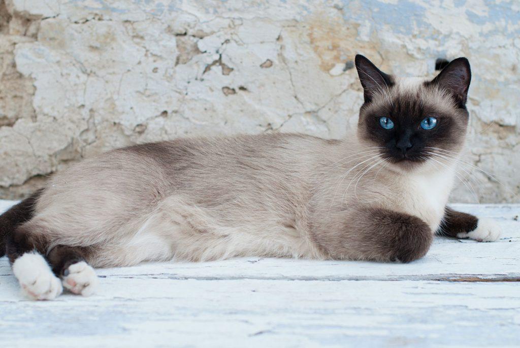 animalerie Snowshoe animalerie chat00