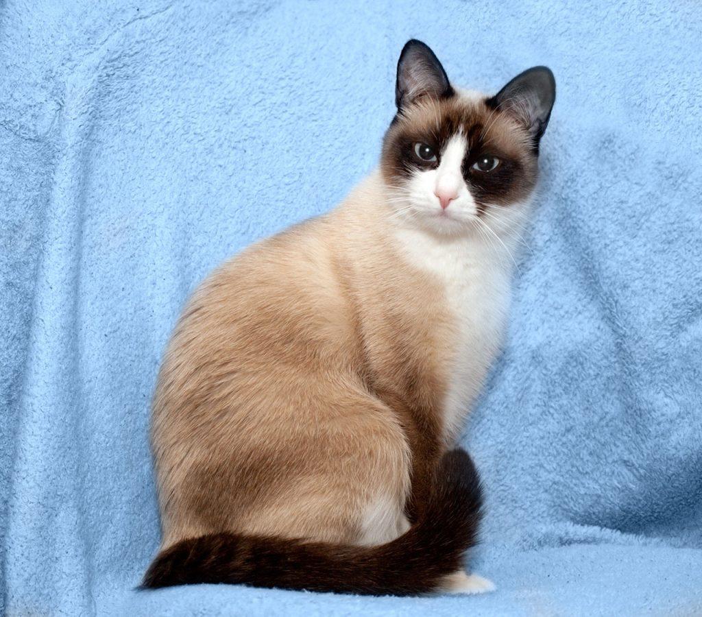 animalerie Snowshoe animalerie chat06