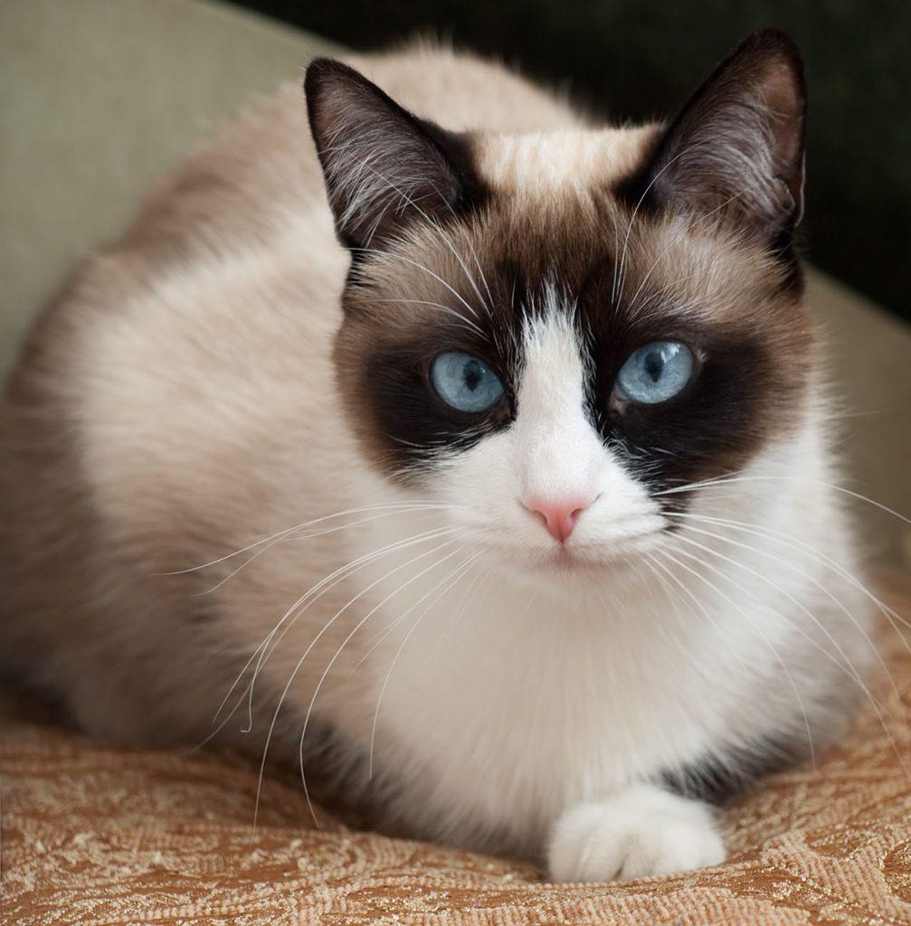 animalerie Snowshoe animalerie chat08
