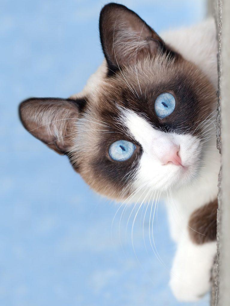 animalerie Snowshoe animalerie chat09