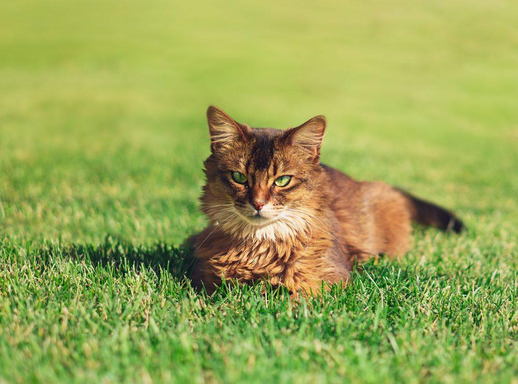 animalerie Somali animalerie chat01