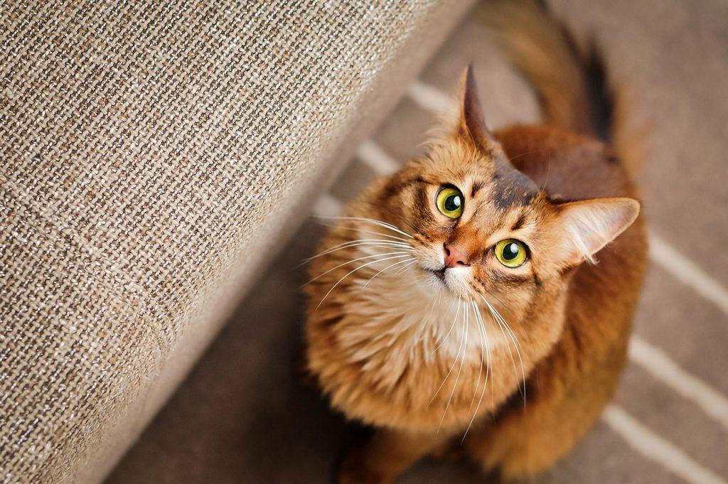 animalerie Somali animalerie chat08