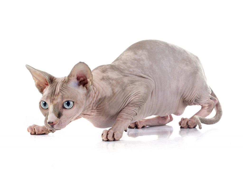 animalerie Sphynx animalerie chat01