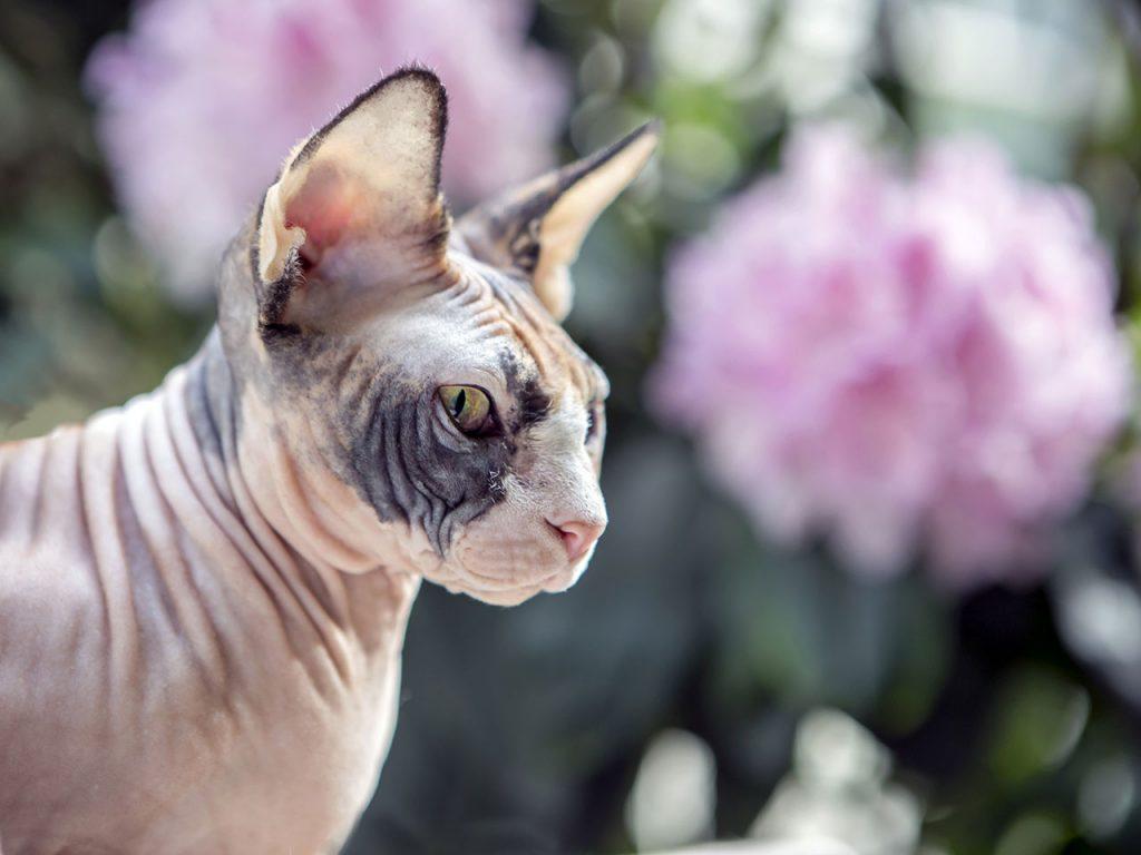animalerie Sphynx animalerie chat02