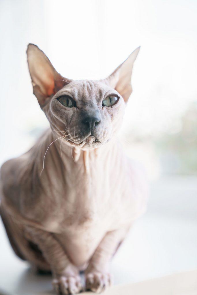 animalerie Sphynx animalerie chat04
