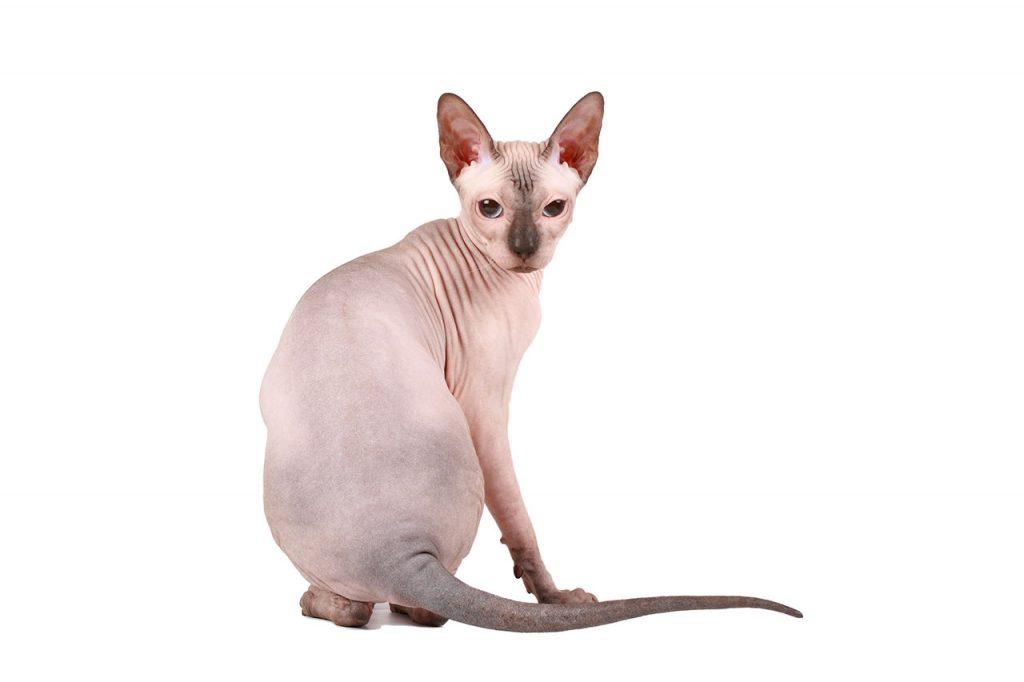 animalerie Sphynx animalerie chat06