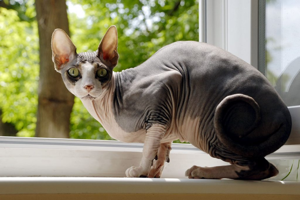 animalerie Sphynx animalerie chat10