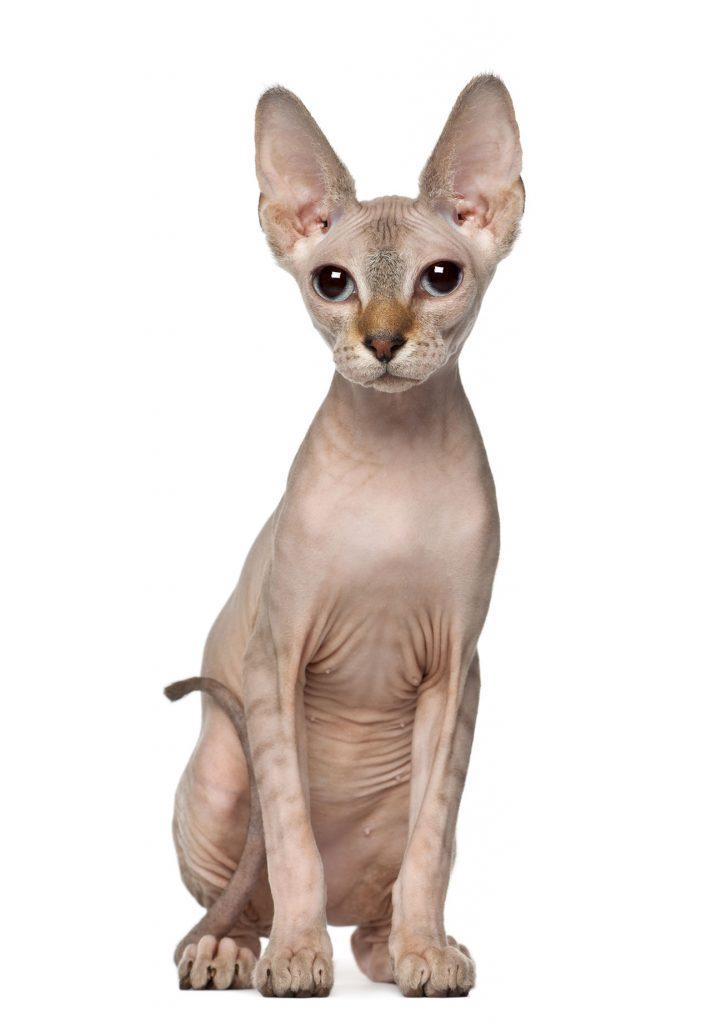 animalerie Sphynx animalerie chat15