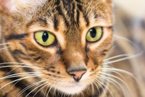 animalerie Toyger animalerie chat deposit 11