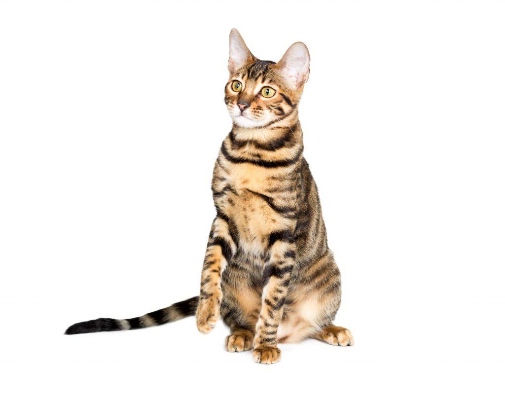 animalerie Toyger animalerie chat deposit 15