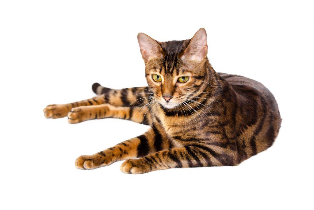 animalerie Toyger animalerie chat deposit 20