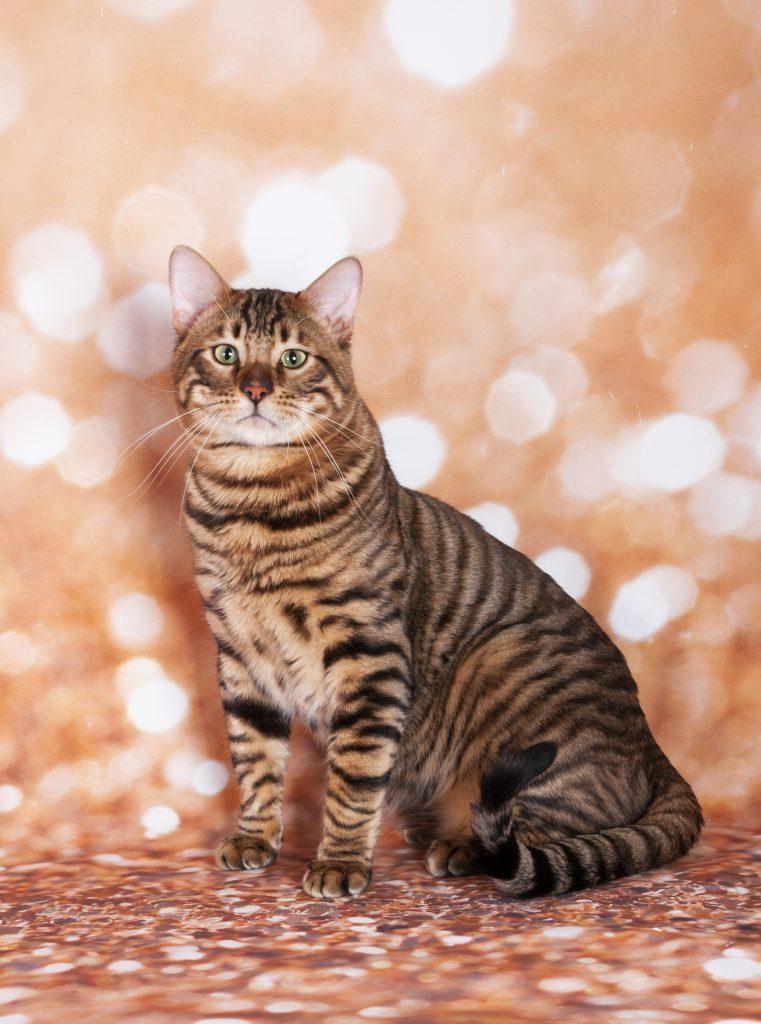 animalerie Toyger animalerie chat deposit 25